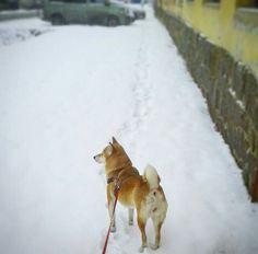 my photo, my dog, my love, shiba inu, snow