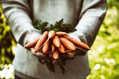 Carrots by mythja. Fresh organic carrots in farmers hands Carrot Seed Oil, Carrot Seeds, How To Plant Carrots, Carrot Benefits, Veggie Soup, Healthy Environment, Natural Glow, Organic Vegetables, Natural Living
