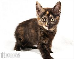 Animal ID: A238168    Room No.: WC87 Mariah is a 2 month old tortie female #pawsitiveshelterphotography If you are looking for me, please come to Orange County Animal Services  at 2769 Conroy Rd., Orlando, FL. The phone number is (407) 254-9140