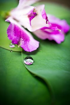 Peruvian Lily Raindrop fine art photography prints for sale by Priya Ghose - A rose and white Peruvian Lily bloom (Alstroemeria) lies prone on some lotus leaves along with several raindrops, both reminders of a recent storm.