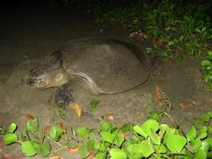Turtle nesting in Andaman and Nicobar Islands Port Blair, Olive Ridley, Andaman And Nicobar Islands, Travel Information, Turtle, Tourism, Beach, India, Animals