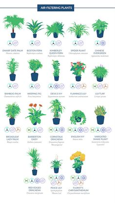 Houseplants are awesome indoor air cleaners, but some of them are more effective than others at filtering out pollutants and toxic chemicals in the air. This infographic highlights the best air-filtering plants, according to a NASA study. Air Filtering Plants, Best Air Purifying Plants, Air Plants, Best Indoor Plants, Indoor Garden, Herb Garden, Ficus, Gerbera, Santa Monica
