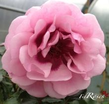 persian mystery  Fil Roses - Le Temps des Roses : roses anciennes et rosiers anglais