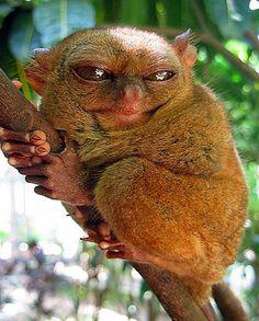 squinting tarsier :: Philippine Tarsier :: [tahr-see-er, tahr-see-ey]