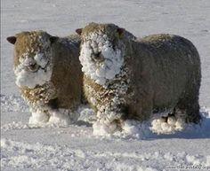 sheep, snow