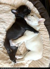 Two French Bulldogs puppies asleep. (one black, one cream)