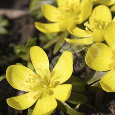 beautiful British Native Bulbs English Aconites - pack of 25 in the green Check more at http://www.gardenorchid.co.uk/product/british-native-bulbs-english-aconites-pack-of-25-in-the-green/