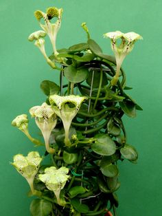 Ceropegia sandersonii (Parachute Plant) is an evergreen, succulent perennial with twining stems, bearing heart-shaped leaves. Weird Plants, Unusual Plants, Rare Plants, Exotic Plants, Cool Plants, Blooming Succulents, Cacti And Succulents, Planting Succulents, Cactus Plants