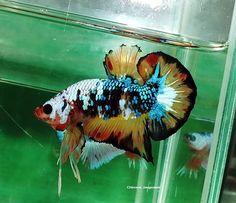 fwbettashmp1472179955 - Dragon Fancy Red Orange Dot Male#01