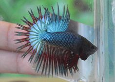 fwbettasct1419280203 - Green Red Crowntail (CT152) !!