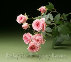 Baby Rio® SWEET SENSATION Spray Rose
