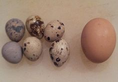 Cooking with quail eggs. - GRIT Magazine