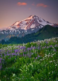 The Forgotten Giant by Bryan Swan, via Flickr Glacier Peak, WA August 2011 Lupine, cow parsnip, arnica, and mountain aster