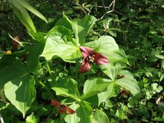 Red trilliums are one of the native spring ephemerals in Sara's garden. Unfortunately, garlic mustard is growing in many of the beds, too.