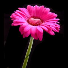 pink gerbera with a heart of chocolate