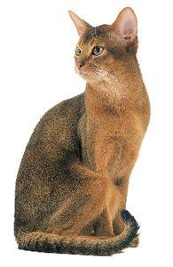 Abyssin lièvre, chat de race
