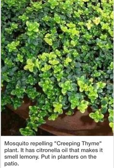 Mosquito Repelling Creeping Lemon Thyme Plant -Zone The high citronella oil content of this hardy, easy-to-grow perennial plant is more potent than any other mosquito repellent plant tested. Container Gardening, Gardening Tips, Vegetable Gardening, Container Plants, Lawn And Garden, Home And Garden, Garden Bed, Thyme Plant, Citronella Oil