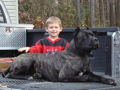 Linebaugh, my dog's sire from American Sentinel K9- STUNNING example of a working bandogge