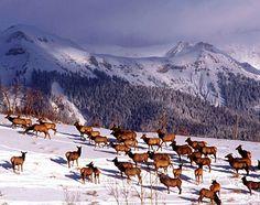 telluride co | Telluride, Colorado, United States, North America: A herd of elk in ...