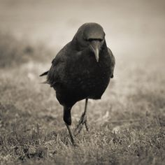 It's a Crow! Did you know they live in family groups, and return to the same spots year after year to nest? Odds are that a large group of crows is an extended family, not just random crows that have formed a murder! (AKA: Flock of Crows)