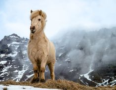 Icelandic Horse in it's natural environment. It looks majestic, but it's actually very small compared to other horses. All The Pretty Horses, Beautiful Horses, Animals Beautiful, Beautiful Things, Types Of Horses, Icelandic Horse, Horse Pictures, Horse Photography, Nature Photography