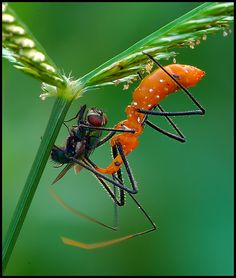 Assassin Bug, Prairieville, LA, photo by Ronnie Gaubert. They use the long rostrum to inject a lethal saliva that liquefies the insides of the prey, which are then sucked out. http://en.wikipedia.org/wiki/Reduviidae #Insects #Assassin_Bug #Ronnie_Gaubert