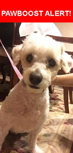 Is this your lost pet? Found in Rancho Palos Verdes, CA 90275. Please spread the word so we can find the owner!  White, female mini poodle/terrier mix with a light grey, thin collar and a few beige spots on her back. It seems like she recently got a haircut   Near Trudie Dr & S Bayend Dr