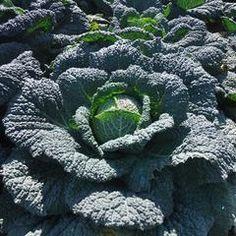 Cabbage Cantasa F1 Organic