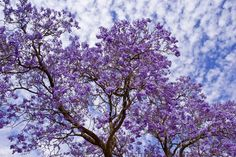 Jacandra Flowers ~ Mildura, Victoria, Australia