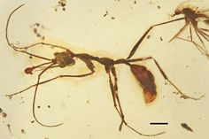 Ceratomyrmex ant fossil in amber