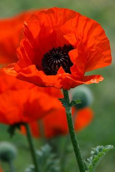"Poppy plants are commonly referred to as ""poppies"" and are flowering specimens from the Papaveraceae family. The blooms have four to six petals with a cluster of stamens in the center."