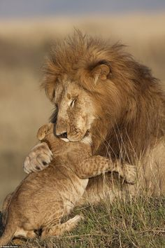 Stunning photographs showcase the work of the winners of a competition for places in an upcoming charity book called Remembering Lions. Pictured: Lion father hugging his cub by Sabine Bernert Lion Images, Lion Pictures, Animal Pictures, Images Of Lions, Nature Animals, Animals And Pets, Images Of Animals, Beautiful Cats, Animals Beautiful