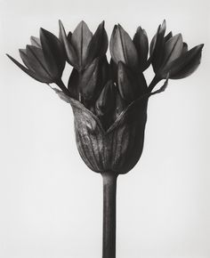 Before there was Instragram and there was Karl Blossfeldt, the master of macro plant photography. Karl Blossfeldt, Artistic Photography, Vintage Photography, Art Photography, Pattern Photography, Botanical Art, Botanical Illustration, Botanical Wallpaper, Natural Form Art
