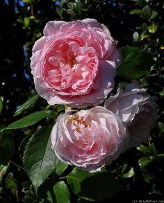 'Lordly Oberon' | Shrub. English Rose Collection. Austin 1983