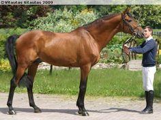 Trakehner stallion Viskis