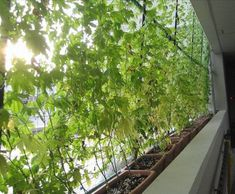 living green curtains. what a neat idea
