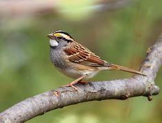 White-throated Sparrow (Zonotrichia albicollis). Photo by Sukey McDonough