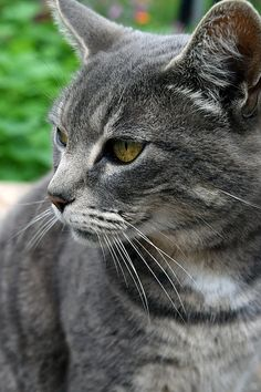 Garden Cat, photograph taken in Umpqua Oregon by Michele Avanti.   While photographing flowers at a friends greenhouse, I noticed his cat. This is my first cat without digital interference, lol. He is not wearing a hat and does not have a hankering for fish. He is simply, elegantly a handsome cat.