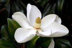 Sweet magnolia flower