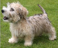 Glen Of Imaal Terrier. I will eventually get one :)