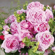 kordes rose duchess christiana parfuma plant o fix. Black Bedroom Furniture Sets. Home Design Ideas