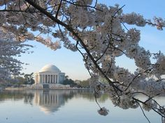 """Oooh, """"some more cherry blossom"""", you say?  Of course, dear!  How about the Jefferson Memorial?  Lovely..."""
