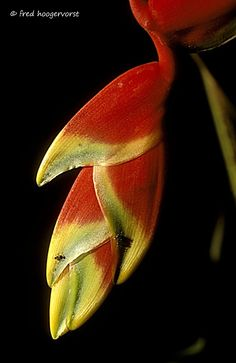 Flower, Close Up, inside Tropical Rainforest of Borneo, Indonesia