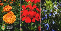 14 Mosquito Repelling Plants to Keep You Safe this Summer - . - Mosquito repelling plants - 14 Mosquito Repelling Plants to Keep You Safe this Summer – … 14 Mosquito Repelling Plants to Keep You Safe this Summer – …,Comb 14 Mosquito Repelling Plants. Garden Insects, Garden Pests, No Till Garden, Diy Greenhouse Plans, Shade Tolerant Plants, Tomato Trellis, Raised Garden Bed Plans, Easy Vegetables To Grow, Mosquito Repelling Plants