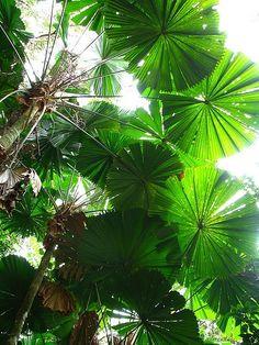 licuala ramsayi tanetahi - fan palm