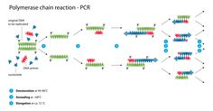 Figure 2: Schematic drawing of the PCR cycle.