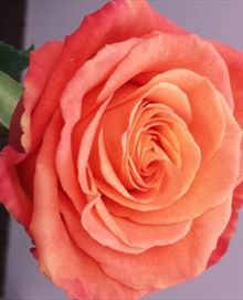 Confidential - Standard Rose - Roses - Flowers by category | Sierra Flower Finder