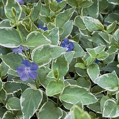 Vinca major 'Variegata' - A very nice vine ground cover. Looks great all year! will not climb like Ivy's. Does well in sun or shade. Periwinkle Flowers, Shade Flowers, Shade Plants, Outdoor Plants, Garden Plants, Outdoor Gardens, Flower Gardening, Ground Cover Plants, Indoor Flowers