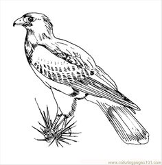 printable pictures of birds printable coloring page rris hawk bird coloring pages