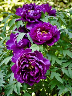 A Haru - Botan (spring-peony) flower is very large (about cm in diameter) and have great beauty and splendor in shape and color. Peony Colors, Purple Peonies, Purple Flowers, Tree Peony, Peony Flower, My Flower, Exotic Flowers, Amazing Flowers, Beautiful Flowers